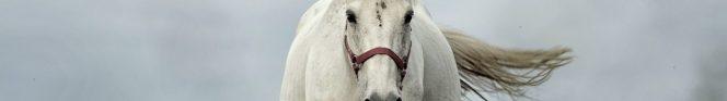 cropped-white-horse-1136093_1920.jpg